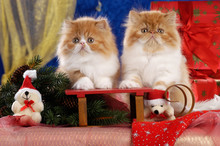 Two Red And White Kitties On A Christmas Sleigh
