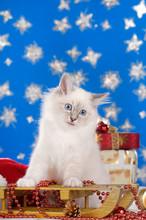 White Birman Kitten Sitting On...