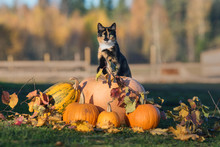 Cat With A Pumpkins In Autumn