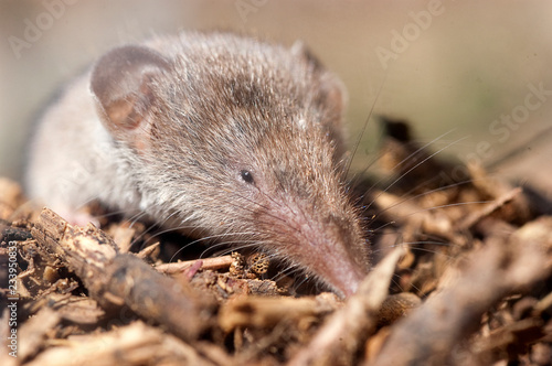 Obraz na plátně  Greater shrew with white teeth (Crocidura russula) coming out of hiding