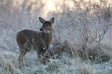 White-tailed Deer In Frosty Field.