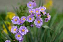 Symphyotrichum Novae-angliae Michaelmas Daisy In Bloom, Autumn Ornamental Herbaceous Perennial Plant