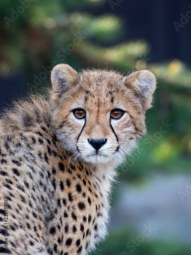 Young Cheetah, a portrait