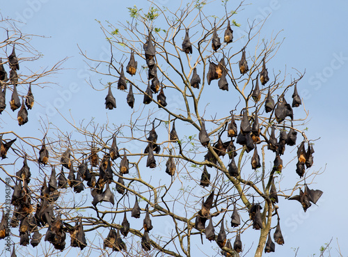 Flying foxes on branches