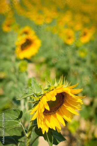 Fotografia  Plantação de girassol, com flores para baixo.