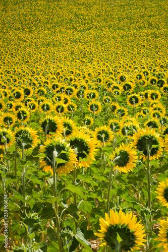 Tela Plantação de girassol. Flores de costas.