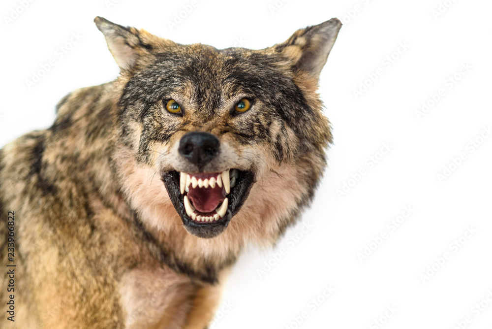 wolf portrait isolated