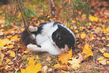 Black And White Cat Lay On The Leaves In The Autumn Forest. Cat Enjoying Life