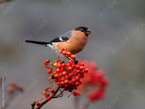 Photo Northern bullfinch, Pyrrhula pyrrhula