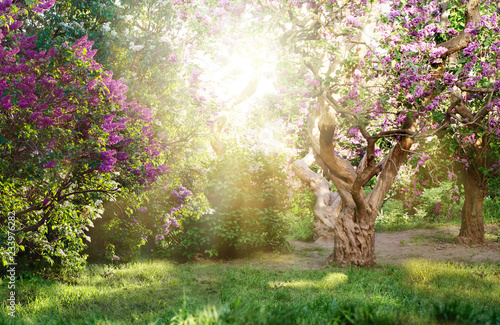 beautiful landscape with old lilac tree blossoming in the garden. Lilac bushes under bright sun rays