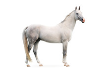 White Akhal-tekes Stallion Isolated On White Background