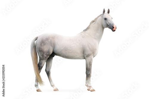 Obraz na płótnie white akhal-tekes stallion isolated on white background