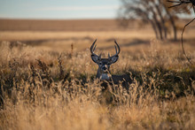 A White-tailed Deer Buck On Th...