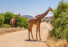 Landscape With Two Reticulated Giraffes, Giraffa Camelopardalis Reticulata, Eating Shrubs On Dirt Road In Northern Kenya