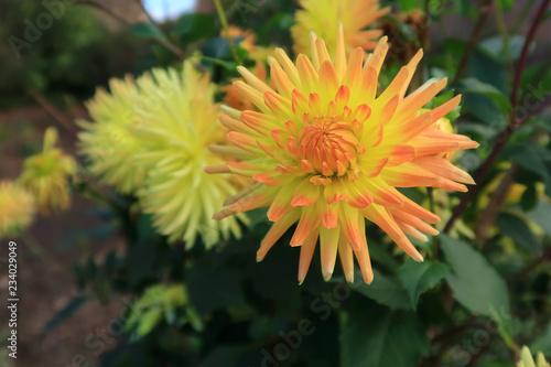Brightly coloured Semi cactus Dahlia