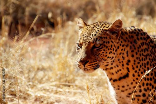 Wilder Leopard in der Savanne Afrika