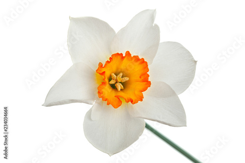 Foto op Plexiglas Narcis Narcissus spring flower on white