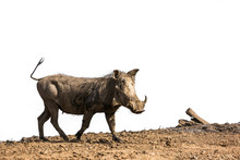 Common Warthog Isolated In White Background In Kruger National Park, South Africa ; Specie Phacochoerus Africanus Family Of Suidae