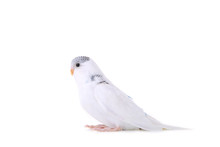 Isolated Budgerigar. Little Wh...