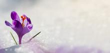 Amazing Sunlight On Spring Flower Crocus. View Of Magic Blooming Spring Flowers Crocus Growing In Wildlife. Big Panoramic Photo Of Majestic Spring Flower Crocus In Snow