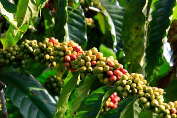 Fototapeta Kawa Coffee been on tree in cafe plantation