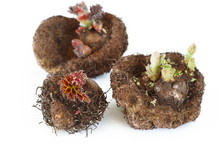 Tubers Of Begonia With Sprouts And Leaves On White Background