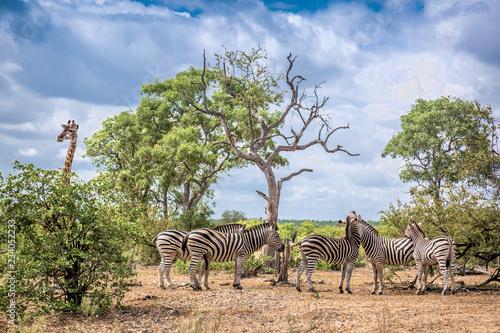 Vászonkép  Plains zebra in Kruger National park, South Africa