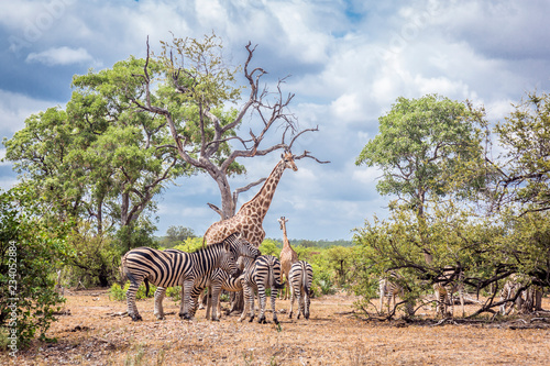 Plains zebra in Kruger National park, South Africa Wallpaper Mural
