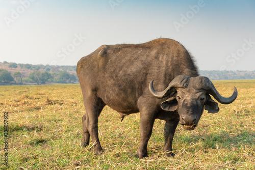 Keuken foto achterwand Buffel ein afrikanischer Büffel, Syncerus cafferi, frisst Gras am Chobe River, Botswana