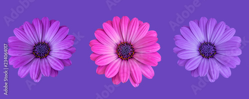 Staande foto Madeliefjes Fine art still life color flower macro image of a trio/three isolated wide open blooming pink violet blue african / cape daisy / marguerite blossoms on violet background