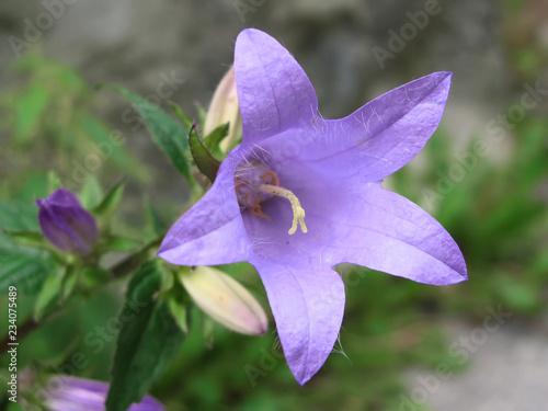 Fleur de Campanule barbue dans les Alpes Fototapet