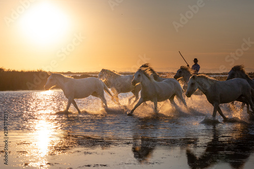 Foto  White Wild Horses of Camargue running on water at sunset, Aigue Mortes, France