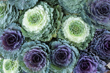 Ornamental Cabbages Brassica O...