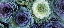 Ornamental Cabbages Brassica O...