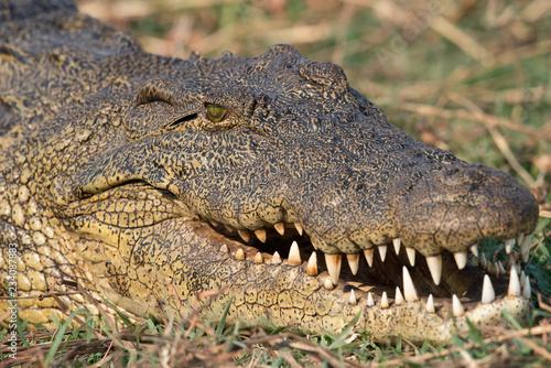 Recess Fitting Crocodile ein Krokodil zeigt seine Zähne, Chobe River, Botswana