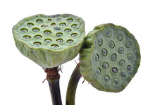 Lotus Seed Isolate White Background