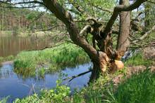 Tree Gnawed By Beavers, Bug Ri...