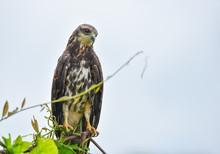Immature Common Black Hawk (Bu...