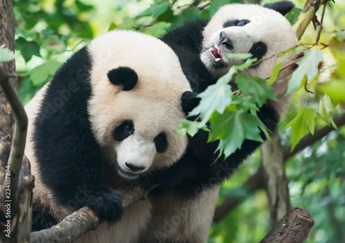 Stickers pour porte Panda two giant pandas playing in tree