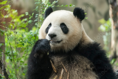 Stickers pour portes Panda Giant panda eating bamboo