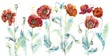 Poppies. Watercolor Hand Drawn Illustration