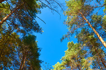 Blue Sky Against The Tops Of Trees In Sunny Weather.
