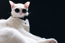 Portrait Of Tecido White Cat Wearing Sunglasses  And Suit,animal  Fashion Concept.