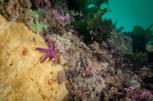 Blood Sea Star Underwater Feed...