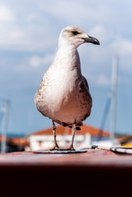 The Proud Seagull