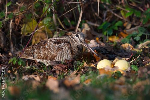 Fényképezés  Waldschnepfe auf Nahrungssuche