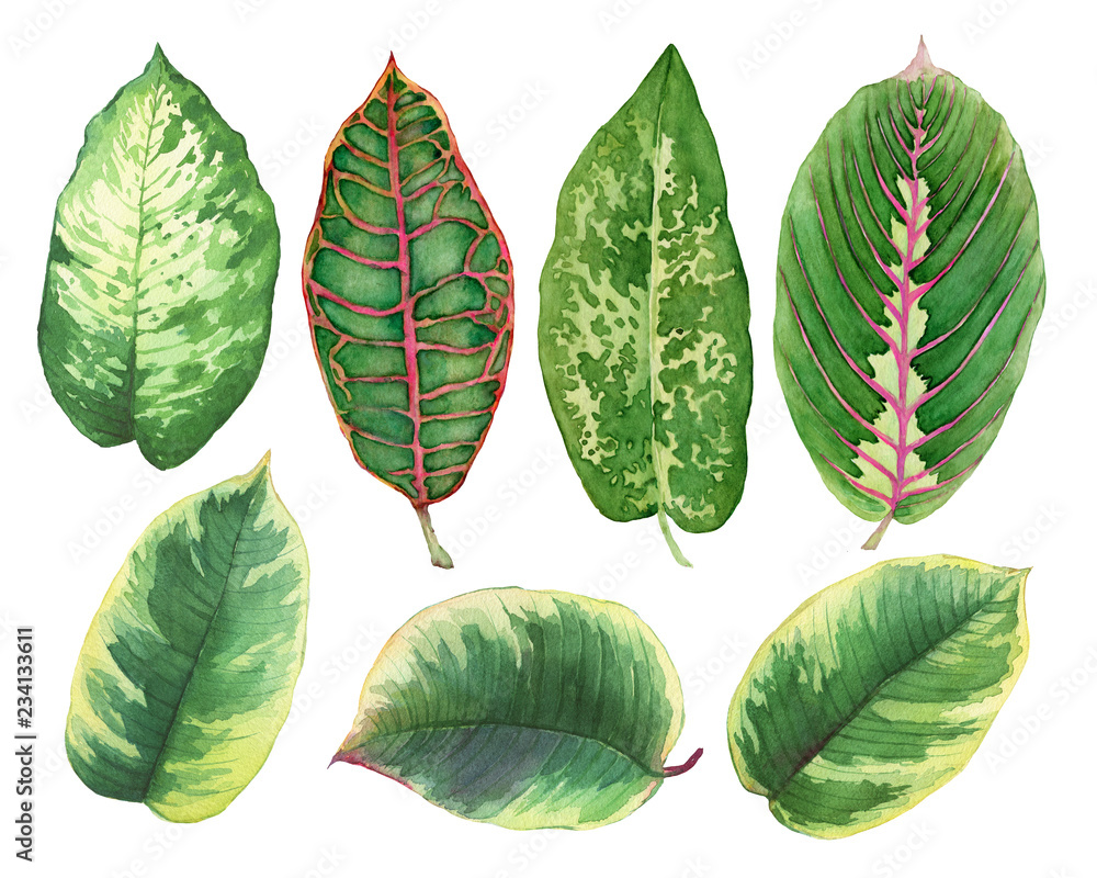 Fototapety, obrazy: Set green leaves of tropical plants- Ficus, Croton variegatum, Maranta, Dieffenbachia. Watercolor hand drawn painting illustration, isolated on a white background.