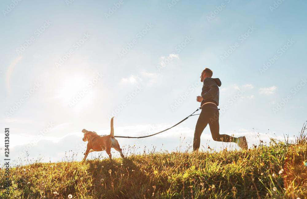 Fototapeta Canicross exercises. Man runs with his beagle dog at sunny morning