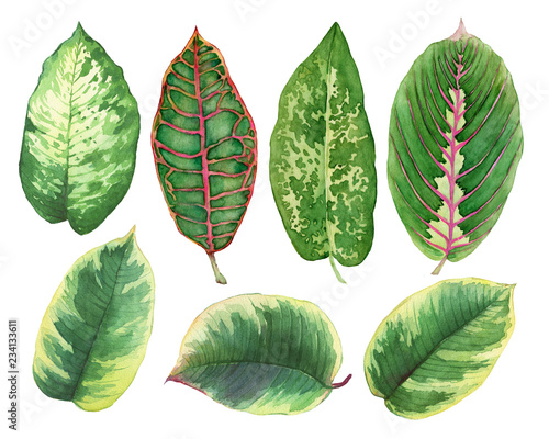 Set green leaves of tropical plants- Ficus, Croton variegatum, Maranta, Dieffenbachia. Watercolor hand drawn painting illustration, isolated on a white background. Wall mural