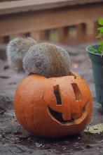 A Grey Squirrel Tries To Find Food Inside Of A Jack-o-lantern